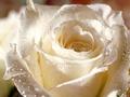 roza1